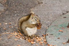 Squirrel Eating a Pine Cone Stock Photography