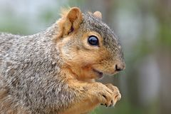 Squirrel eating portrait. Close-up portrait of a squirrel eating Stock Photo