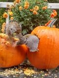 Squirrel in a pumpkin royalty free stock image
