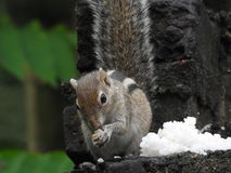 Squirrel eating rice in the back yard. A beautiful squirrel eating rice in the back yard Stock Photography