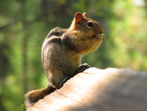 Squirrel eating on a log. Metaphor for freedom in business, environmentally friendly, and Royalty Free Stock Photography