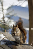 Squirrel eating a seed. A brown squirrel sits on a rail and eats a seed. The ice and snow of winter are all around stock images