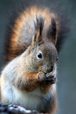 Squirrel eating seed. Squirrel sitting and eating seed Royalty Free Stock Photos