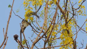 Squirrel eating seed of flower on tree. Squirrel eating seed of flower on Golden Shower Tree Cassia fistula stock video