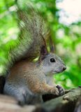 Squirrel eating seeds Stock Photography