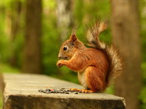 Squirrel eating seeds on the bench Royalty Free Stock Image