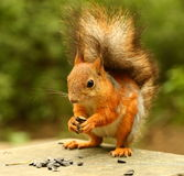 Squirrel eating seeds on the bench Stock Photos