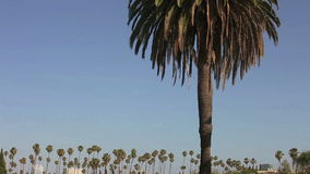 California palm tree with a blue sky stock footage