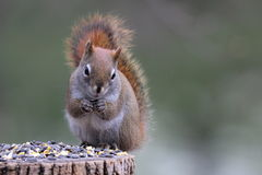 Squirrel Eating Seeds Royalty Free Stock Photography