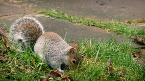 Squirrel Eating Seeds In The Grass stock video footage