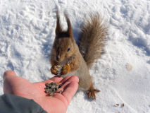Squirrel eating seeds Stock Images