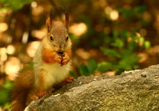 Squirrel eating seeds on the stone Stock Images