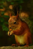 Squirrel eating seeds on the stone Royalty Free Stock Image