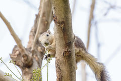 Squirrel eating seeds from the tree Royalty Free Stock Photography