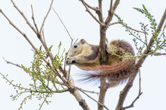 Squirrel eating seeds from the tree Stock Photo