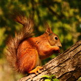 Squirrel eating seeds Royalty Free Stock Images