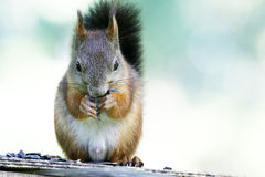Squirrel eating seeks. Squirrel sitting on plate and eating seeks Stock Image