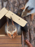 Squirrel eating sitting in the feeder Royalty Free Stock Image