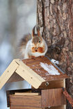 Squirrel eating sitting on the feeder Stock Photography