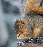 Squirrel Eating During a Snow Storm. Close up of a squirrel in profile eating a sunflower seed while sitting on a perch. He eats during a snow storm. Shallow Royalty Free Stock Photo