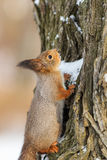 Squirrel eating snow Stock Photo