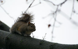 Squirrel. Eating some food outside Royalty Free Stock Photo