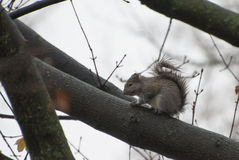 Squirrel. Eating some food outside Stock Photography