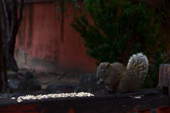 A squirrel eating some white grains. Without getting distracted Royalty Free Stock Image