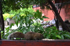 A squirrel eating some white grains. Without getting distracted Royalty Free Stock Images