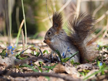 Squirrel eating  something at blue flowers at forest Royalty Free Stock Photography