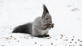 Squirrel eating something stock footage