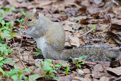 Squirrel is eating spicy chips Stock Photography