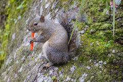 Squirrel is eating spicy chips Royalty Free Stock Image