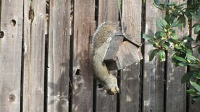 Squirrel eating from a suet feeder royalty free stock photo