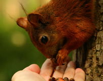 Squirrel eating cedar nuts from my hand Royalty Free Stock Photos