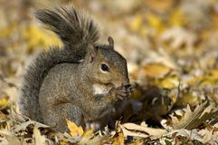 Squirrel Eating Sunflower Seed Royalty Free Stock Photography