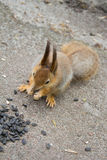 Squirrel eating sunflower seeds. Royalty Free Stock Image