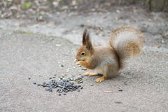 Squirrel eating sunflower seeds. Stock Image
