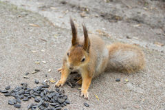 Squirrel eating sunflower seeds. Stock Images