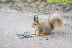 Squirrel eating sunflower seeds. Stock Photography