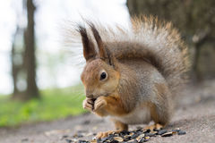 Squirrel eating sunflower seeds. Royalty Free Stock Photos