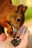 Squirrel eating sunflower seeds from my hand Stock Photos