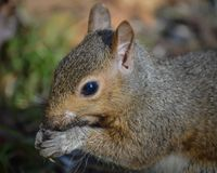 Squirrel Eating Sunflower Seeds in Nature stock photos