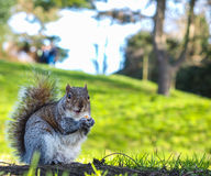 Squirrel eating on a treat in a park Royalty Free Stock Image