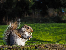 Squirrel eating on a treat in a park Stock Photos