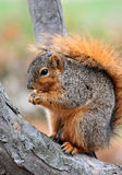 Squirrel eating on tree Stock Images