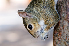Squirrel eating on the tree Stock Image