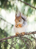 Squirrel eating. On the tree Stock Image