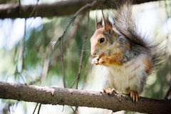 Squirrel eating on tree Stock Photos