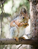 Squirrel eating on tree. Squirrel eating on the tree Stock Images